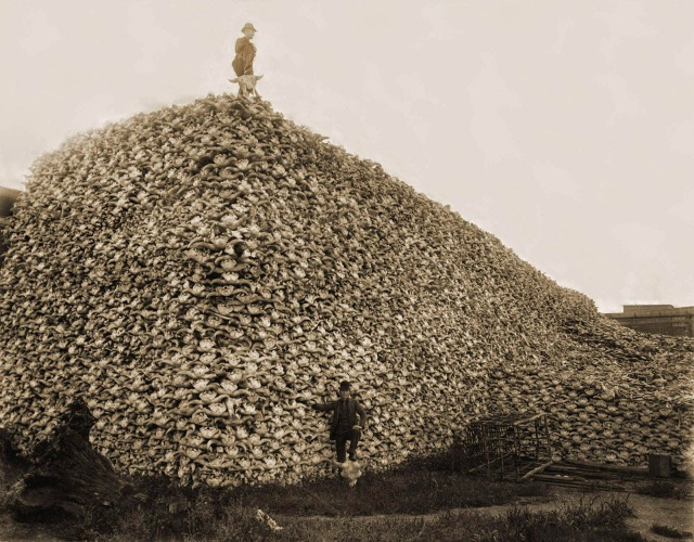 Bison skulls pile to be used for fertilizer , 1870